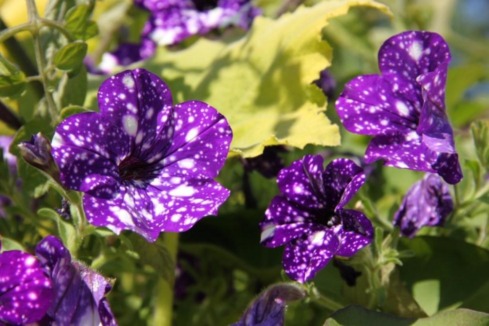 Belladauree_fleurs2