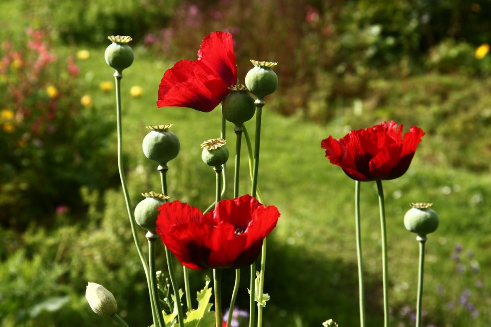 IrelandPoppy